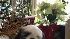 Beautiful Shih Tzus Puppies