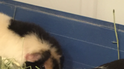 2 Male Guinea Pigs for Sale!
